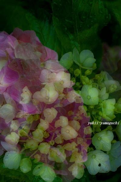 紫陽花03.jpg