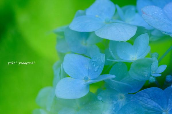 紫陽花04.jpg