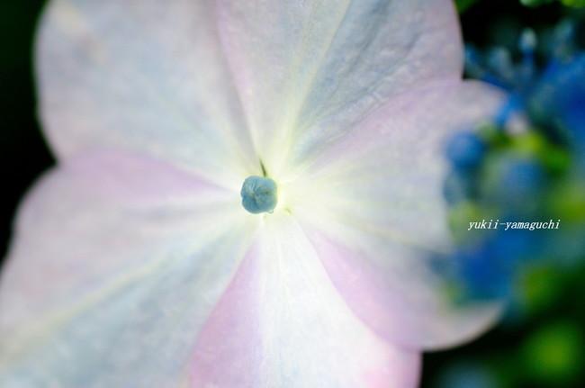 紫陽花09.jpg