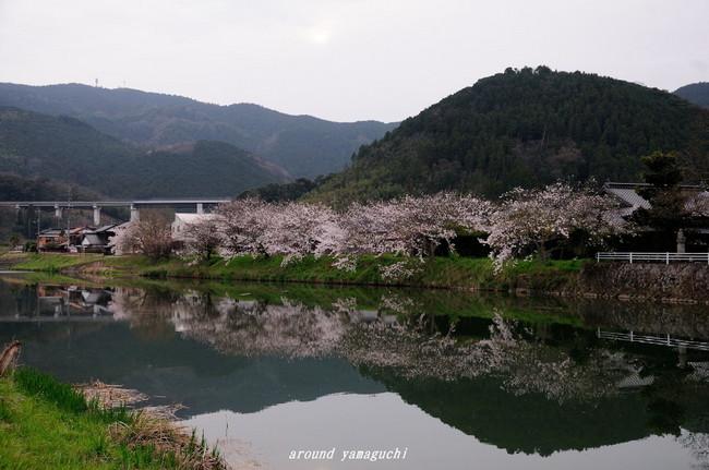 美東町桜01.jpg