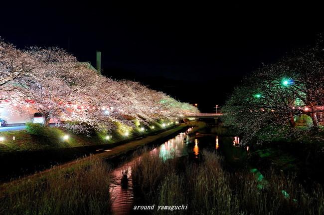 美祢夜桜01.jpg