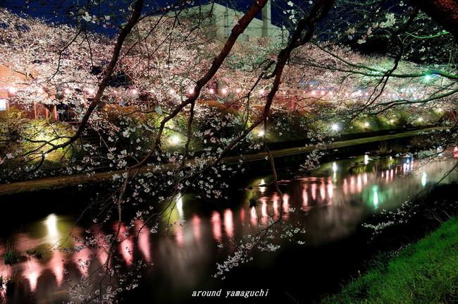 美祢夜桜03.jpg