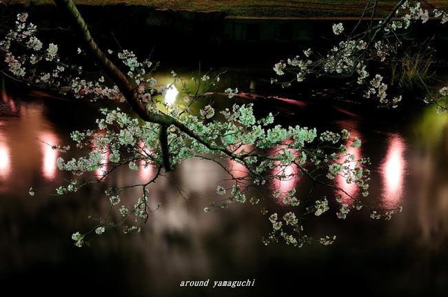 美祢夜桜04.jpg