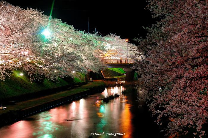 美祢夜桜06.jpg