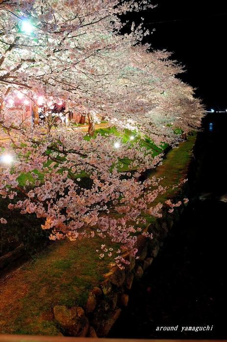 美祢夜桜07.jpg