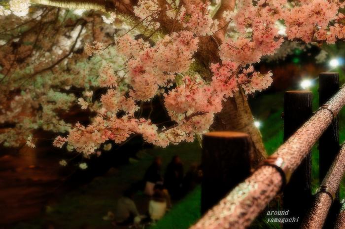 美祢夜桜10.jpg