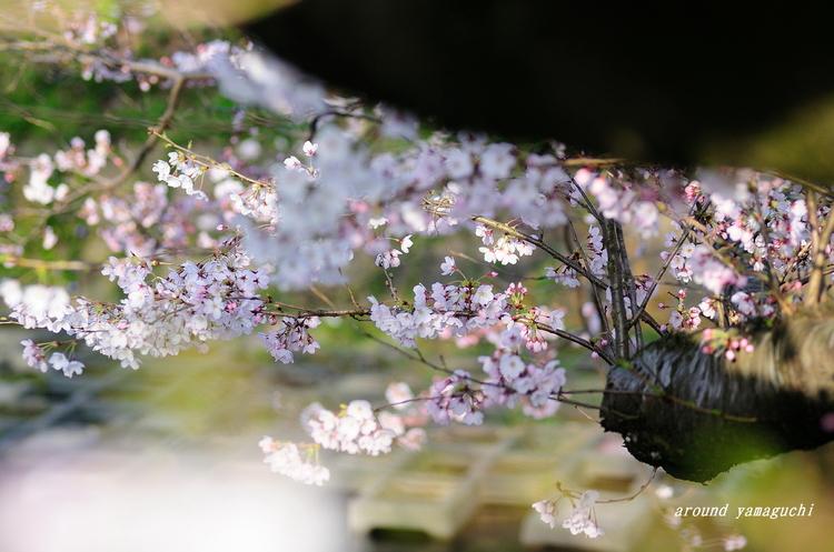 美祢桜公園05.jpg