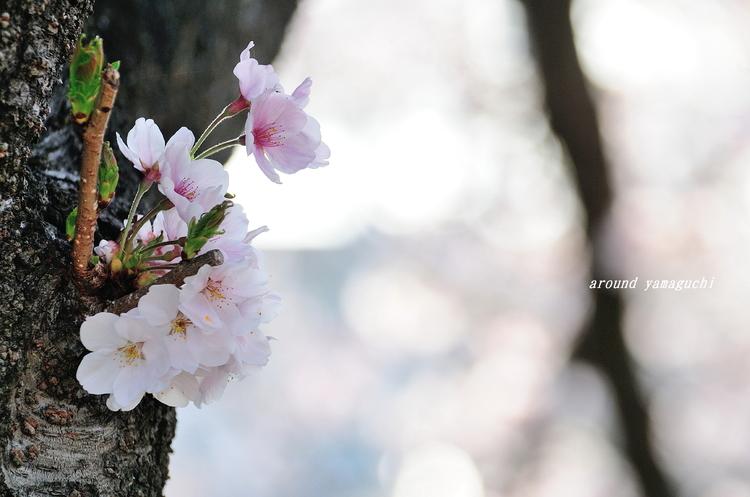 美祢桜公園06.jpg