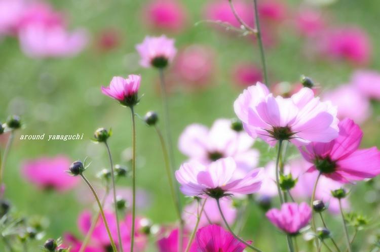 花の海コスモス01.jpg