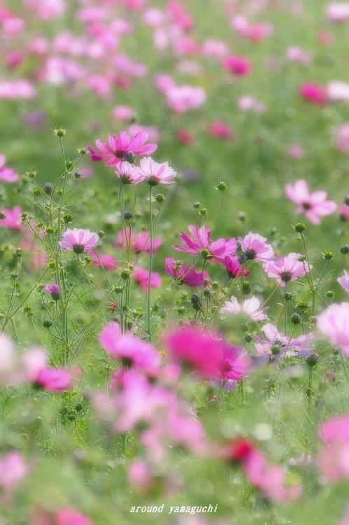 花の海コスモス04.jpg