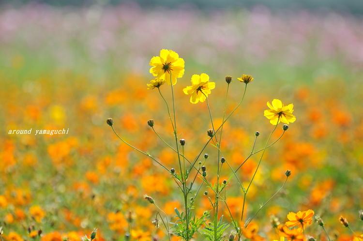 花の海コスモス06.jpg