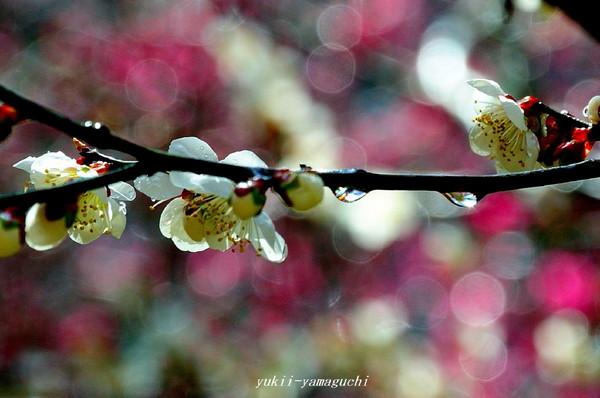 萩往還梅林園12.jpg