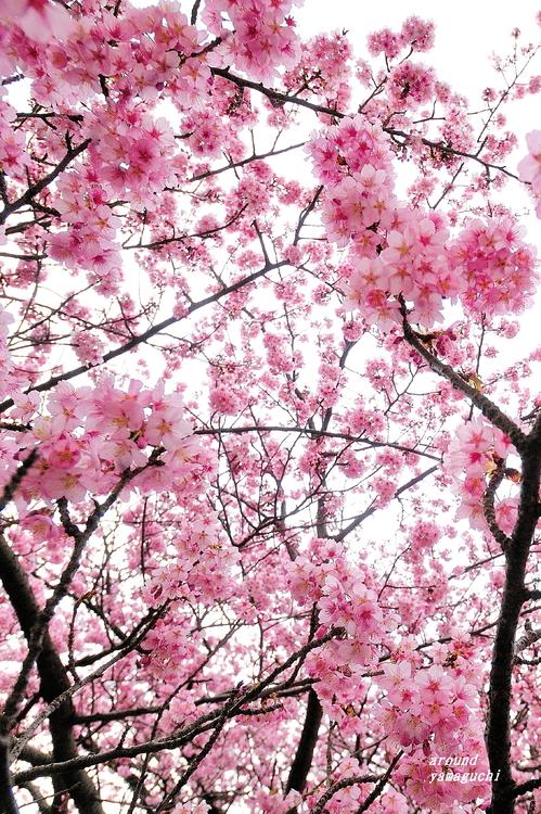 蓬莱桜08.jpg