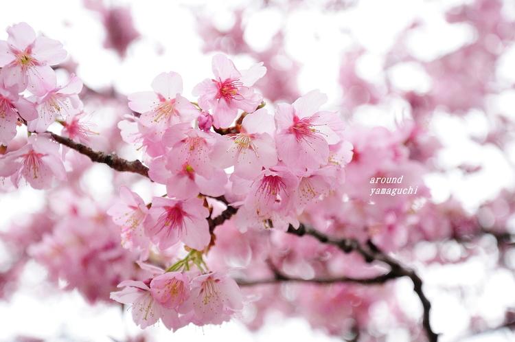 蓬莱桜09.jpg