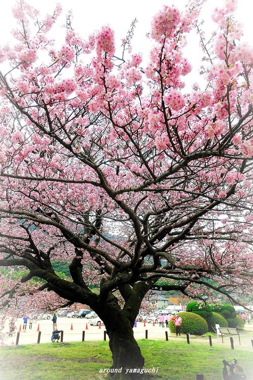 蓬莱桜12.jpg