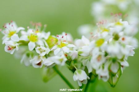 蕎麦の花04.jpg