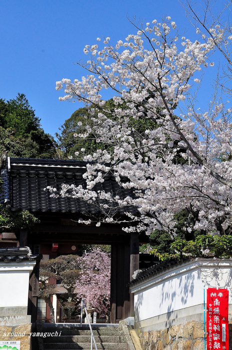 覚天寺さくら02.jpg