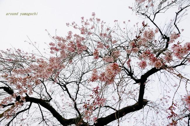 長登しだれ桜04.jpg