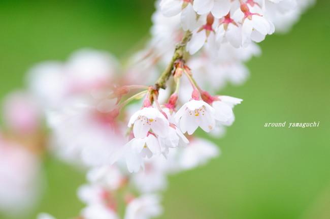 長登しだれ桜05.jpg