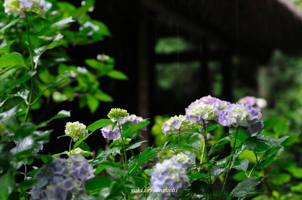 雨の阿弥陀寺08.jpg